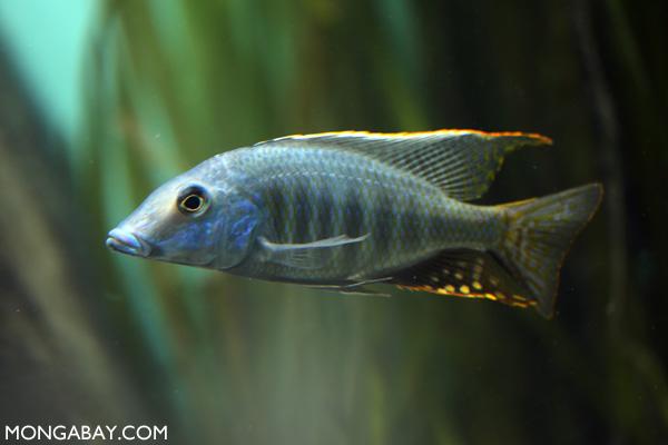 Malawi eye-biter cichlid (Dimindiochromis compressiceps)