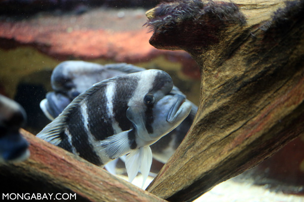 Humphead cichlid (frontosa)
