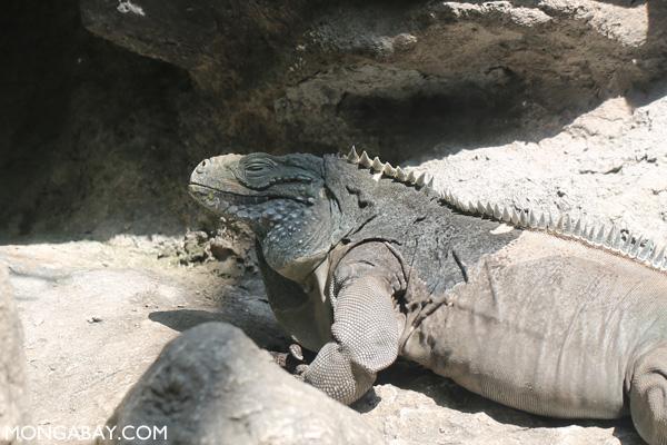 Grand Cayman's largest land animal
