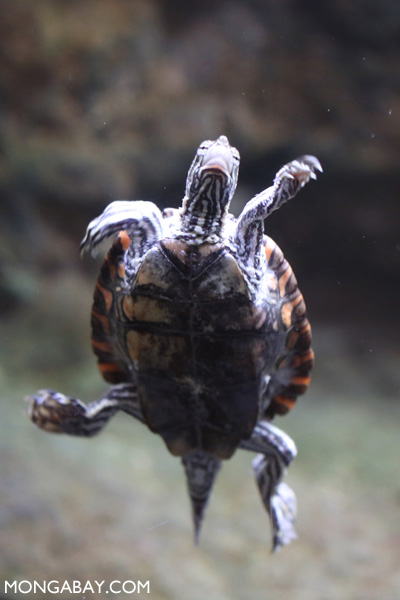 Ringed map turtle (Graptemys oculifera)