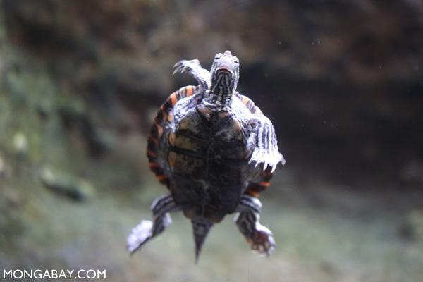 Ringed map turtle (Graptemys oculifera)