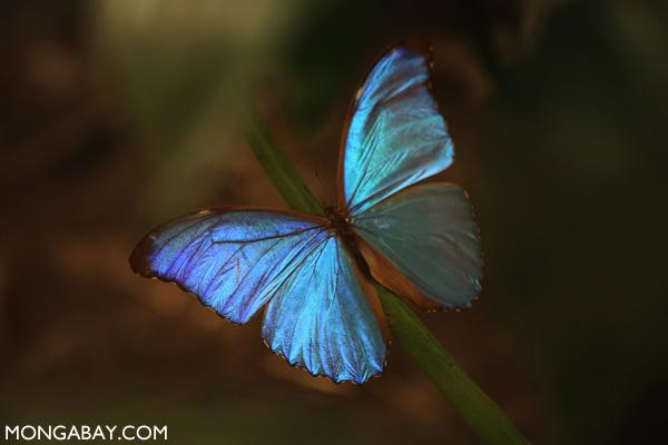 Blue morpho (Morpho amathonte)