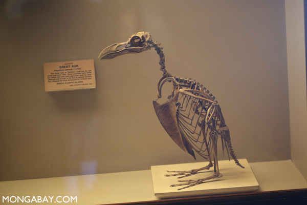 Skeleton of the great auk