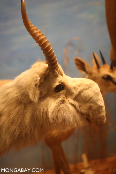 Stuffed saiga antelope