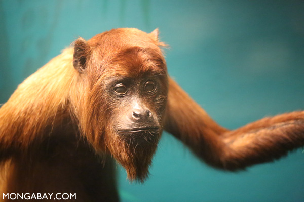 Stuffed red howler monkey