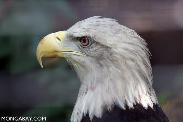 No app needed: the bald eagle.