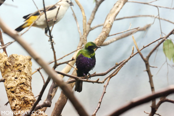 Iris Glossy Starling (Lamprotornis iris)