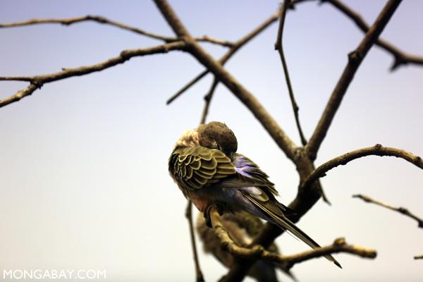 Bourkie Parrot (Neopsephotus bourkii)