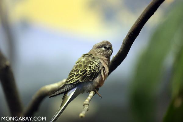 Bourkie Parakeet (Neopsephotus bourkii)