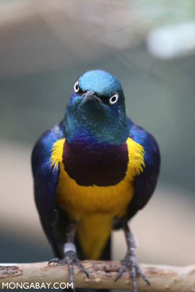 Golden-breasted Starling (Lamprotornis regius)