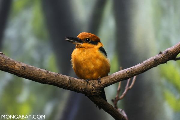 Guam Micronesian Kingfisher (Todiramphus cinnamominus)