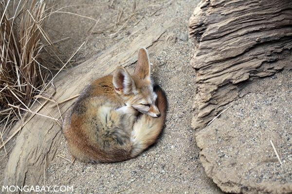 Fennec Fox (Vulpes zebra)