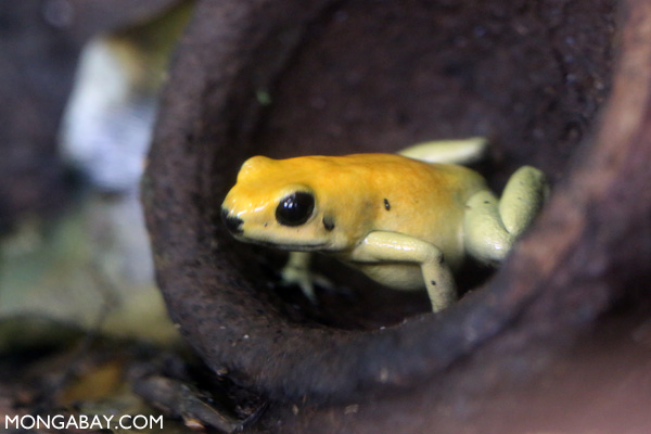Black-legged dart frog (Phyllobates bicolor)