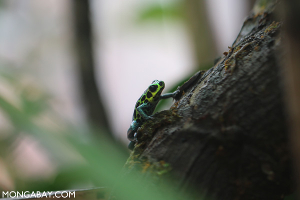 Sky-blue poison dart frog