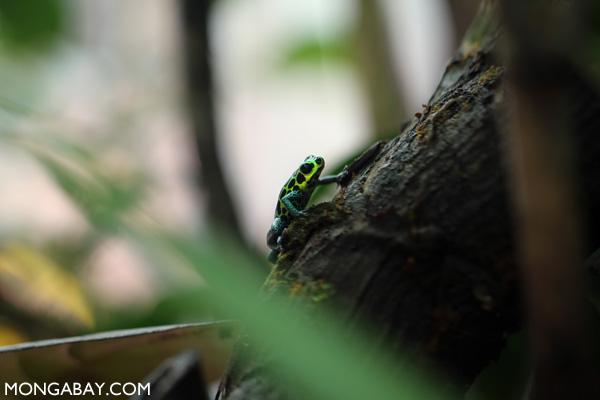 Sky-blue poison arrow frog (Hyloxalus azureiventris)