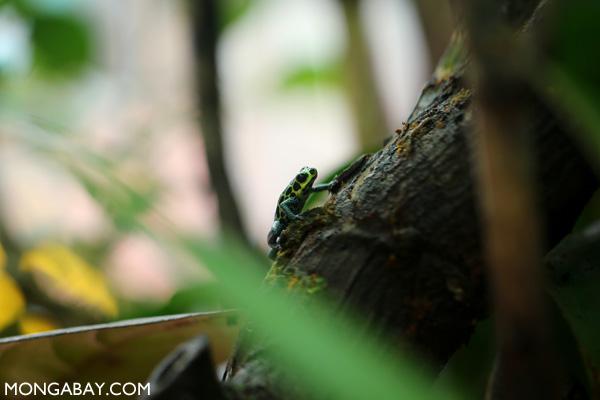 Sky-blue poison dart frog (Hyloxalus azureiventris)