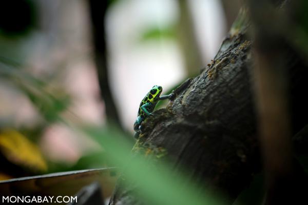 Sky-blue poison frog (Hyloxalus azureiventris)
