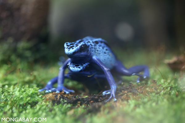 Mating blue dart frogs