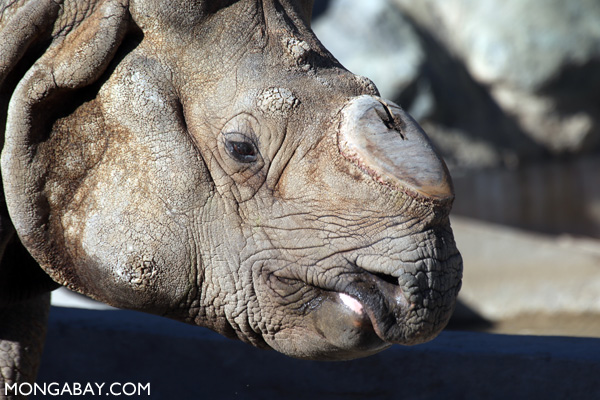 Greater one-horned rhino (Rhinoceros unicornis)