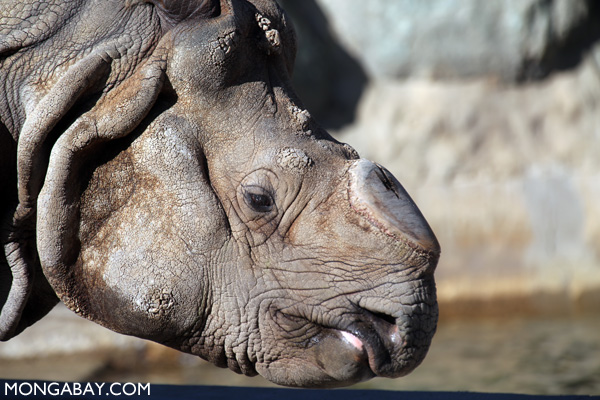 One-horned rhino (Rhinoceros unicornis)