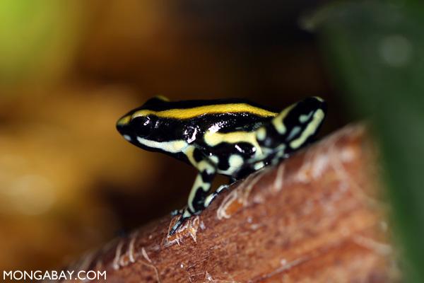 Yellow Dendrobates truncatus poison frog