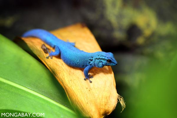 Blue gecko