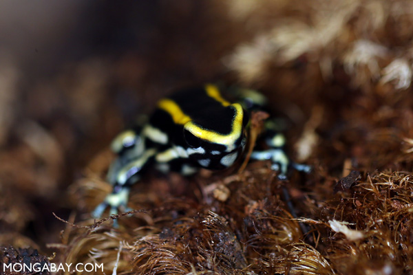 Yellow-striped poison frog (Dendrobates truncatus)