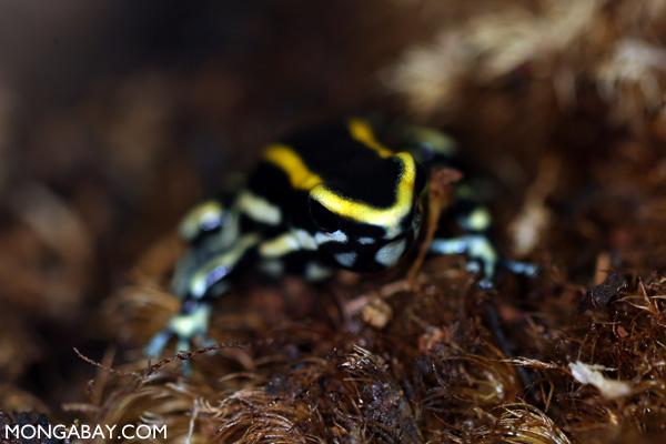 Yellow Dendrobates truncatus