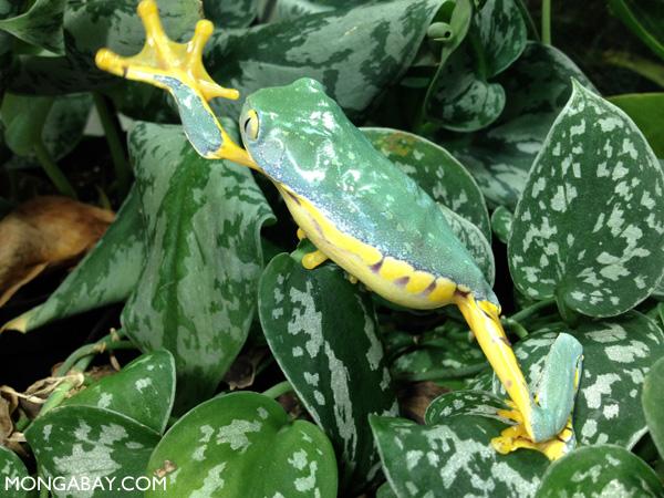 Fringe leaf frog (Cruziohyla craspedopus)