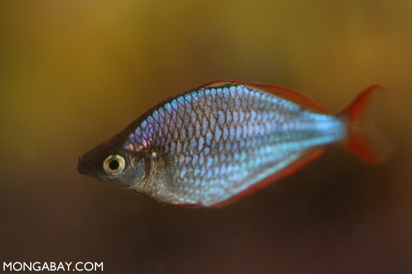 Dwarf Neon Rainbowfish (Melanotaenia praecox)