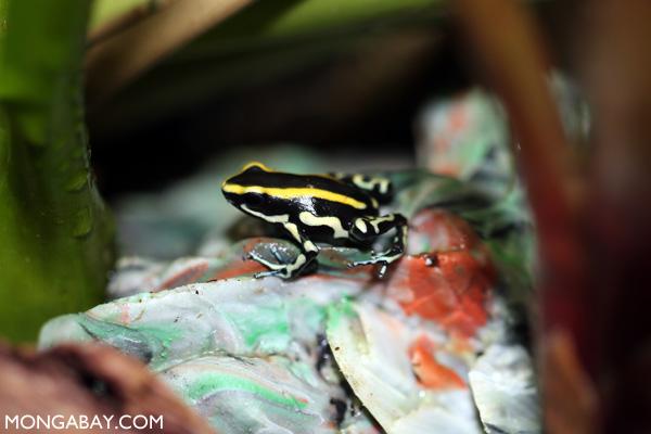 Yellow-striped poison frog (Dendrobates truncatus)