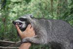 Crab-eating Raccoon (Procyon cancrivorus) in a rehabilitation center [costa-rica-d_0090]