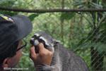 Crab-eating Raccoon (Procyon cancrivorus) in a rehabilitation center [costa-rica-d_0093]