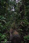 Fallen rainforest tree