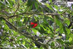Red leaf in the rainforest canopy