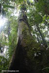 Giant rainforest tree [costa-rica-d_0151]