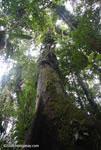Giant rainforest tree [costa-rica-d_0152]