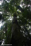Giant rainforest tree [costa-rica-d_0153]