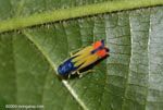 Blue, yellow, and orange insect