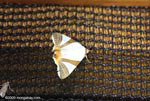 White, brown, and orange moth [costa-rica-d_0349]