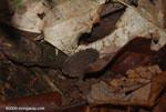 Leaf litter cockroach