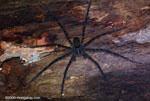 Fishing spider [costa-rica-d_0450]