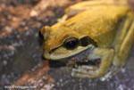 Frog [costa-rica-d_0457]