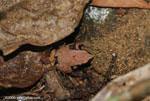 Frog [costa-rica-d_0469]