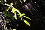 Leaves of a rainforest shrub illuminated in a ray of sunlight