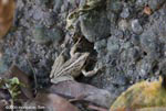 Rain frog [costa-rica-d_0489]