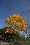 Corteza Amarilla (Tabebuia ochracea) [costa-rica-d_0589]