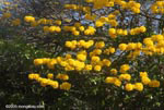 Striking yellow flowers of the Corteza Amarilla (Tabebuia ochracea) in bloom