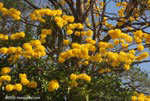Striking yellow blossoms of the Corteza Amarilla (Tabebuia ochracea) in bloom