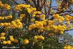 Striking yellow blossoms of the Corteza Amarilla (Tabebuia ochracea) in bloom